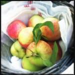 Appels plukken op de Olmenhorst