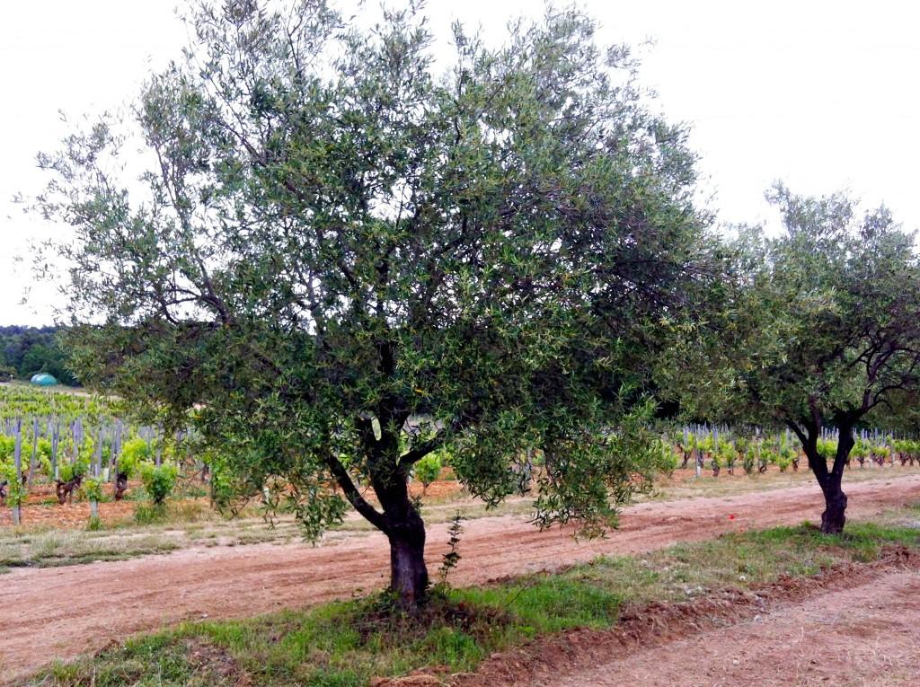 Prachtige olijfbomen Made by Ellen