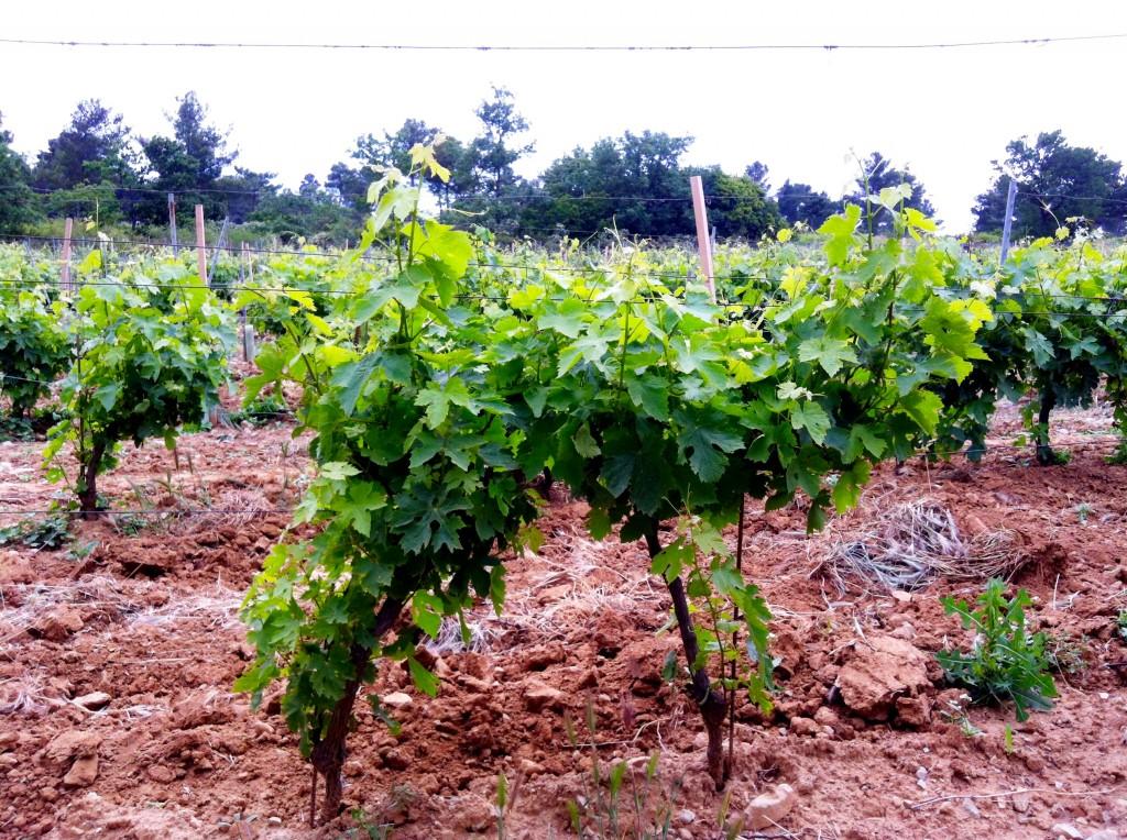 Wijnranken made by ellen
