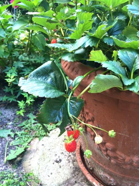 aardbeien uit eigen tuin made by ellen