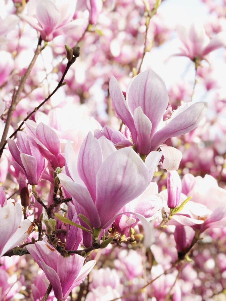 Magnolia bloem magnolia boom, made by ellen