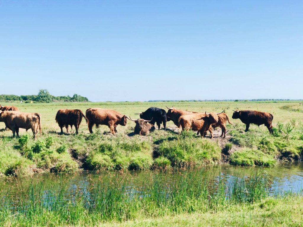 Schotse hooglanders grazers in lauwersmeer in groningen